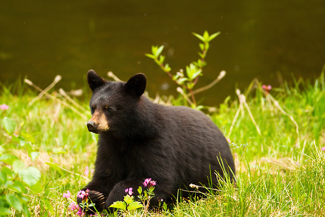 A black bear cub seen in the Callahan Valley area of British Columbia, Canada, on June 24 2011. Photo by Gus Curtis.