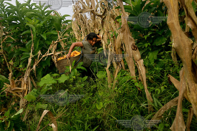 Blanca Ashanga harvests corn in a field in the Quichua community of San Pedro Sumino. All the community works in what they call a 'Minga' where everyone contributes and harvests for the community. The proceeds of selling the corn will be used for services in the community. .