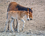 Young filly Sweet Pea stays close to older sister Pipit in the Sand Wash Basin Wild Horse Management Area in northwest Colorado