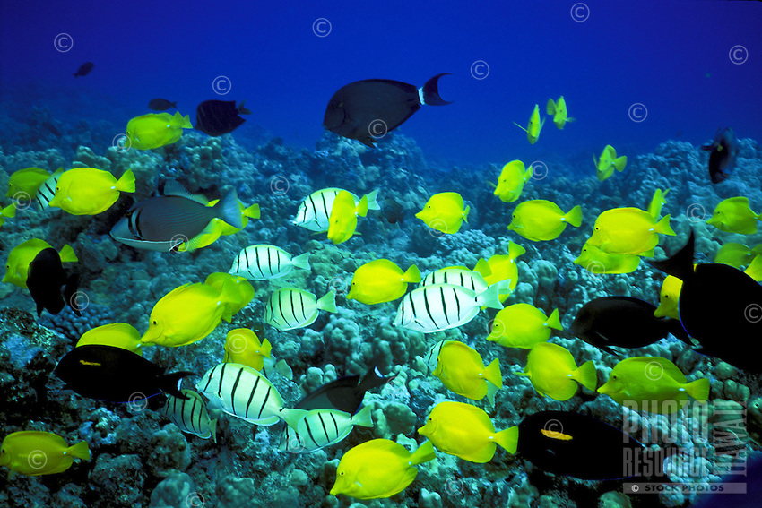 Yellow tang fish above coral reef at Hanauma Bay, Oahu, a snorkelers paradise