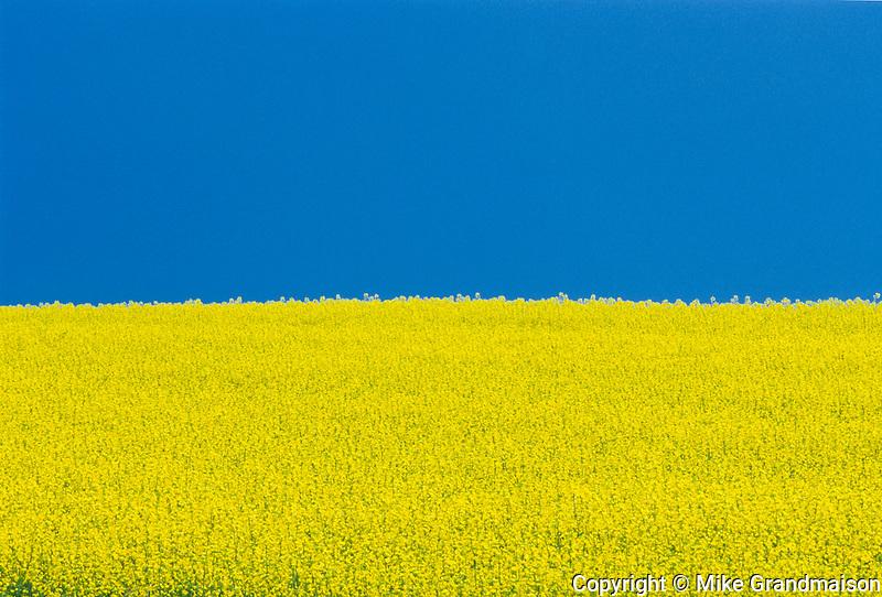 Agriculture farm crop canola mike grandmaison photography canola flowers and blue sky killarney manitoba mightylinksfo