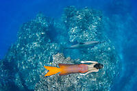This ocean scene with a mermaid (MR) and spinner dolphin, Stenella longirostris was put together digitally.