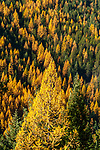Golden Tamaracks in the Selkirk Mountains in North Idaho