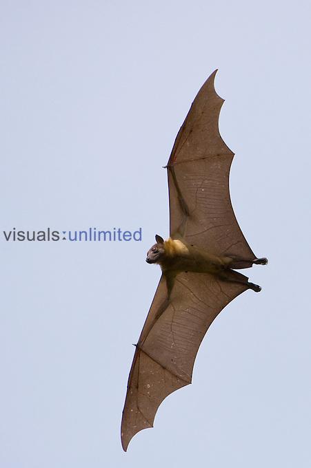 Straw-colored Fruit Bat flying (Eidolon helvum), Kasanka National Park, Zambia.