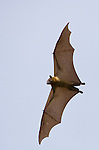 Straw-colored Fruit Bat flying (Eidolon helvum), Kasanka National Park, Zambia.