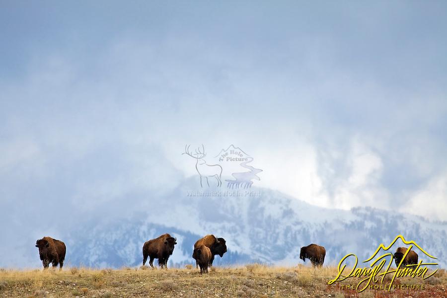 Bison, Grand Tetons, Grand Teton Natiional Park