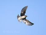 Purple Martin (Progne subis), female carrying nest material in flight, Montezuma National Wildlife refuge, New York, USA