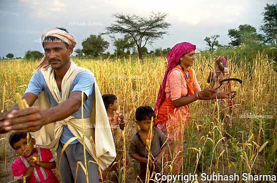 The Bishnoi community of Rajasthan has a history of protecting the trees and the wildlife from poachers and hunters.
