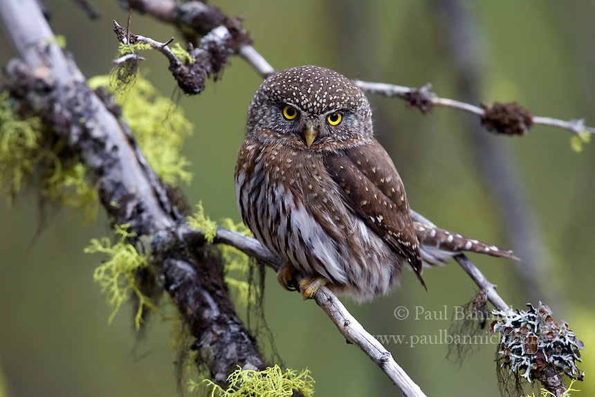 A Northern Pygmy Owl, Glaucidium gnoma, hides in a tangle of branches in the southern Cascades of Yakima County.
