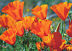California Wildflowers.  4x6 postcards by Frank Balthis