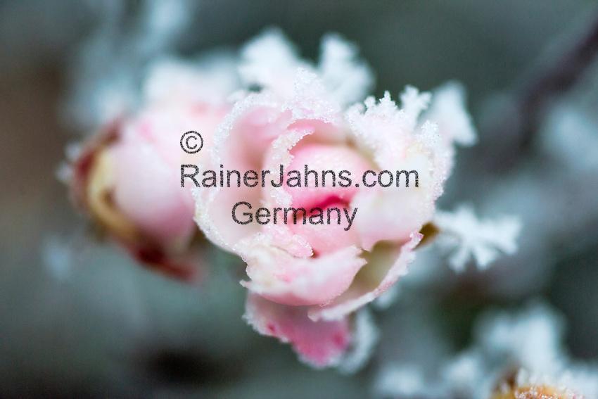 Germany, Bavaria: first night frost decorates rose petals with white frost | Deutschland, Bayern: die ersten Nachtfroeste zeugen vom bevorstehenden Winter - Rosenblueten mit Raureif