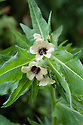 Henbane (Hyoscyamus niger), mid June. Also known as stinking nightshade or black henbane.