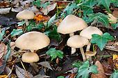 Entoloma rhodopolium - Wood Pinkgill