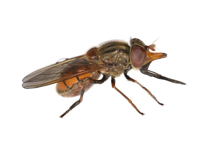 Rhingia campestris - hoverfly