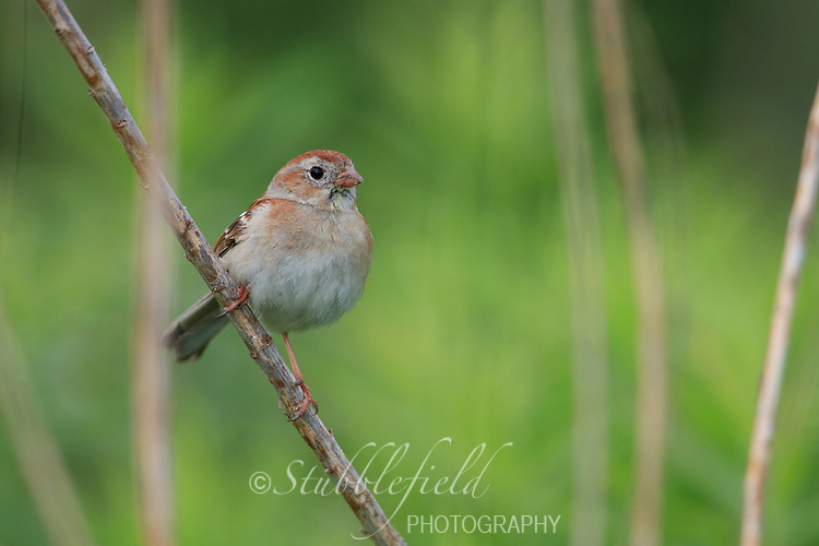 Field Sparrow (Spizella pusilla pusilla), Eastern subspecies, male in breeding plumage on his breeding territory in Walkill River State Park, Vernon Township, Sussex, New Jersey.