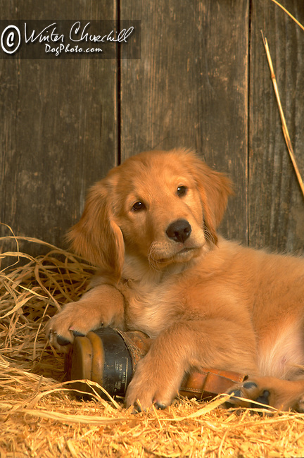 Golden Retriever puppy<br /> <br /> <br /> <br /> <br />  Shopping cart has 3 Tabs:<br /> <br /> 1) Rights-Managed downloads for Commercial Use<br /> <br /> 2) Print sizes from wallet to 20x30<br /> <br /> 3) Merchandise items like T-shirts and refrigerator magnets