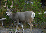 Yellowstone Deer