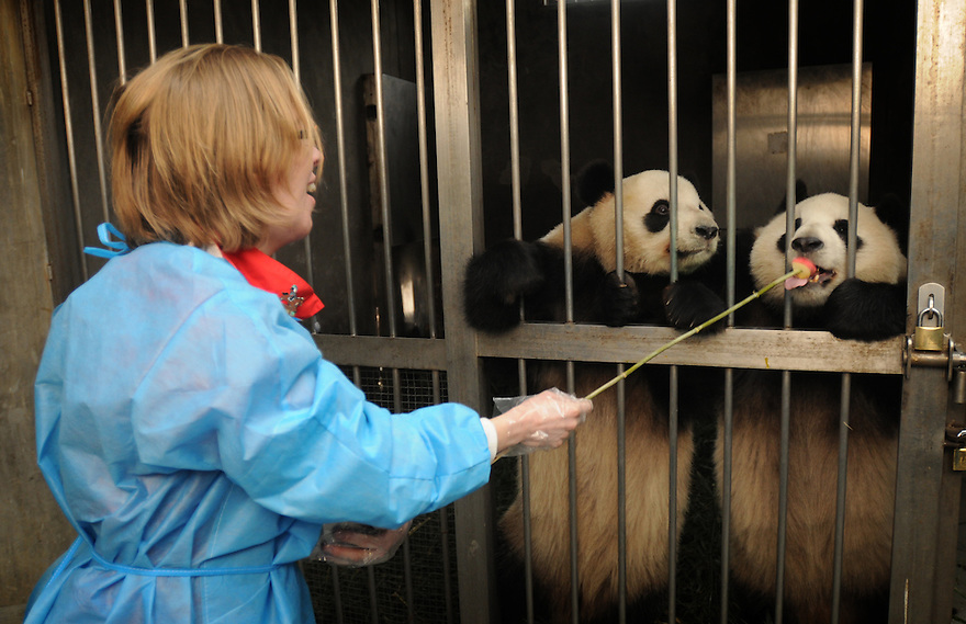 JOURNALIST HAZEL SOUTHAM FEEDING PANDAS TREATS AS PART OF A HALF DAY VOLUNTARY EXPERIENCE AT THE CHENGDU PANDA BREEDING AND RESEARCH CENTRE, SICHUAN, CHINA. 14/3/13. PICTURE BY CLARE KENDALL 07971 477316