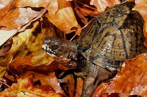 1R40-030x  Eastern Box Turtle - in autumn leaves - Terrapene carolina