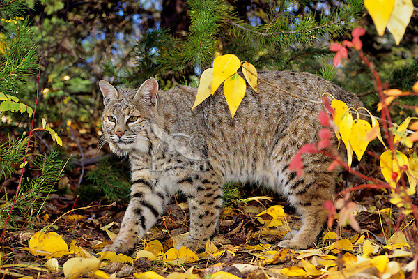 Bobcat (Lynx rufus).  Western U.S., fall--walking among cottonwood tree leaves.