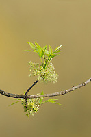 Pecan tree (Carya illinoinensis), new leaves and blossoms, New Braunfels, Hill Country, Central Texas, USA