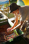 Coffee farmer admires his bounty of coffee cherries or berries at the coffee cooperative weighing and unloading station.  The cherries are the fruit of the coffee plant and inside contain the coffee bean.