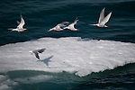 Arctic terns, Sterna Paradisaea, taking off from ice floe near Humboldt Glacier, Greenland.