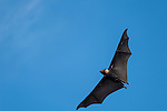 Papisoi, Indonesia; a great flying fox (Pteropus neohibernicus) overhead against a blue sky on a small island offshore of Papisoi, this species of megabat is among the largest bats in the world