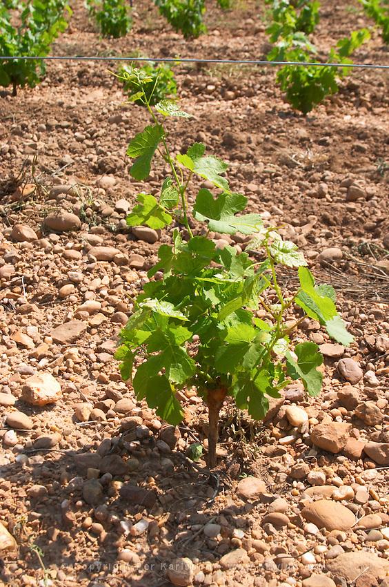 marsanne recently planted vines vineyard mas du notaire rhone france