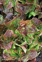 HS21-801x  Lettuce - Samantha variety - loose leaf