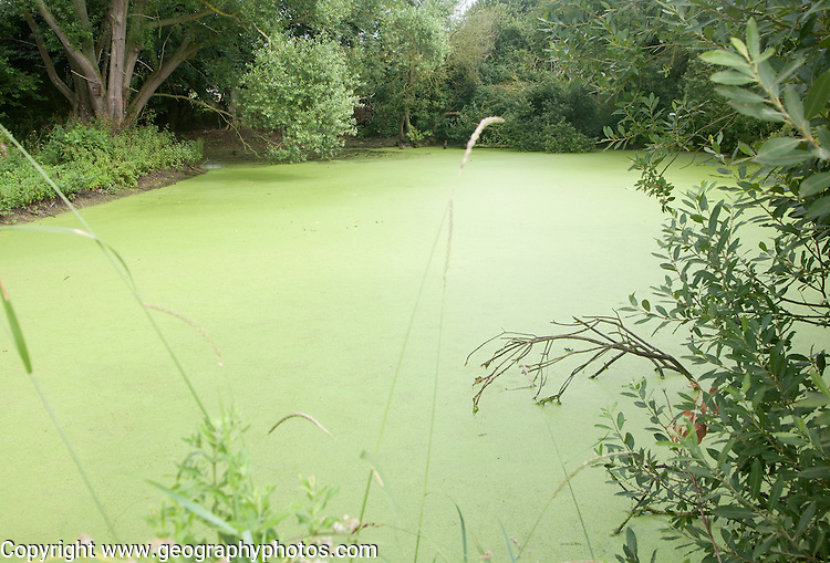 Pond with green pond weed algae caused by eutrophication, Bawdsey, Suffolk, England, UK