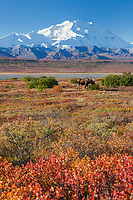 Bull moose on the autumn tundra with Denali in the distance, Denali National Park, Interior, Alaska.