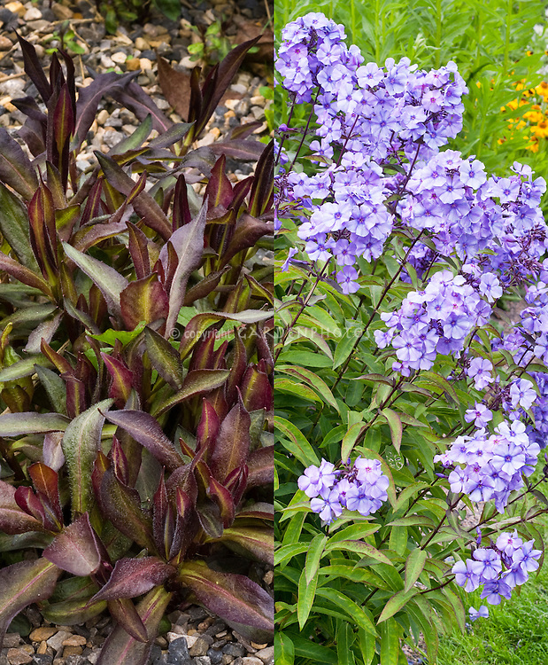 Phlox paniculata 'Blue Evening' in two stages, emerging young growth with purple black foliage, and blue purple flowers in summer, compositie picture