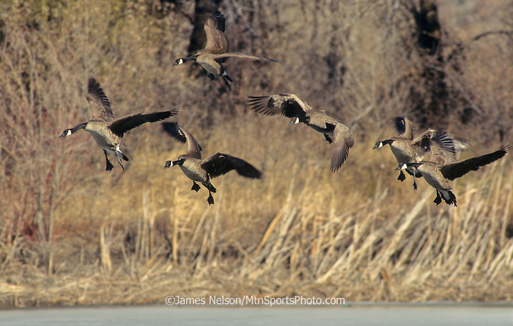 26-222. Canada geese set their wings before landing on a frozen pond in southeast Idaho.