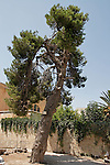 Israel, Aleppo Pine Tree in Jerusalem Old City<br />