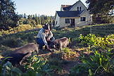 USA, Oregon, Willamette Valley, Clare Carver feeds her pigs at her home at the Red Hills Farm, Gaston