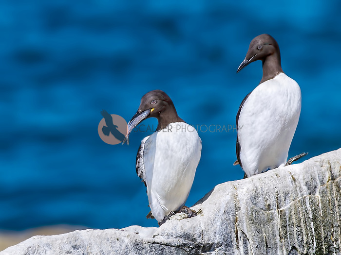 Two Thin-Billed Murre, one with a fish
