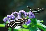 Zebra heliconian butterflies, Heliconius charithonius