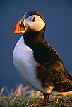 Atlantic puffin portrait, Iceland