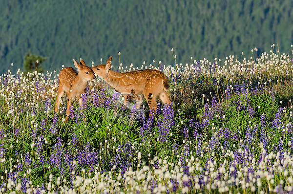 Columbian black-tailed deer (Odocoileus hemionus columbianus) fawns playing/interacting in subalpine meadow covered with wildflowers. Pacific Northwest.  Summer.