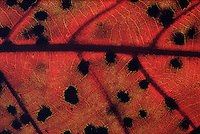 Detail of red oak leaf #5477.