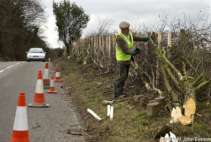Farmer John Stafford of Deepdale Farm, Hulland, Ashbourne, Derbyshire laying a 300 metre stretch of hedge at the side of a busy road at Callich Bank. The hedge makes up part of the two to three miles of he lays on contract each year.