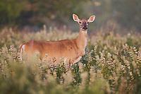 White-tailed Deer (Odocoileus virginianus), Sinton, Corpus Christi, Coastal Bend, Texas, USA