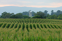 Corn crop on a farm in Albemarle County, Va.