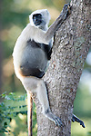Grey, Common or Hanuman Langur, Semnopitheaus entellus, Pregnant Female sitting in tree, Corbett National Park, Uttarakhand, Northern India.India....