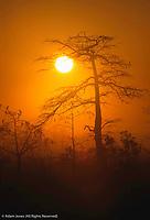 Dwarf Cypress tree and foggy sunrise, Everglades National Park, Florida