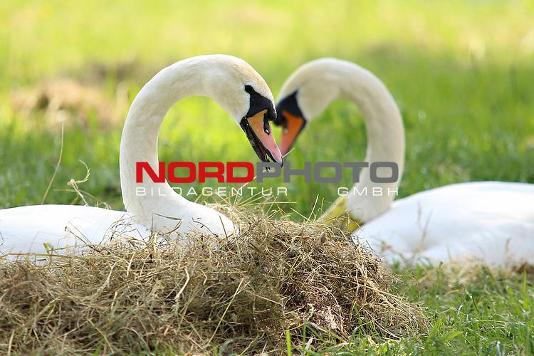 10.05.2013., Zagreb - Swans nest at lake Jarun <br /> <br /> Foto &copy;  nph / PIXSELL / Davor Puklavec