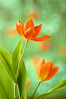 Two orange tulips, Liliaceae sp, Tulipa family, in spring light,