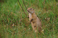 Europäischer Ziesel, Schlichtziesel, Spermophilus citellus, Citellus citellus, Erdhörnchen, Bodenhörnchen, European ground squirrel, European souslik