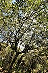 Israel, Upper Galilee, Oak trees at Baram forest